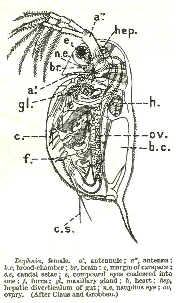 anatomy of daphnia | h. heart | _. | Flickr