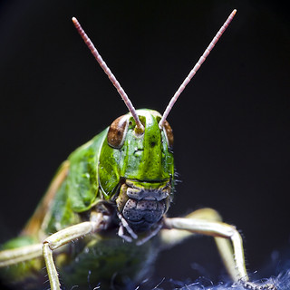 Meadow Grasshopper | by Jez Blake