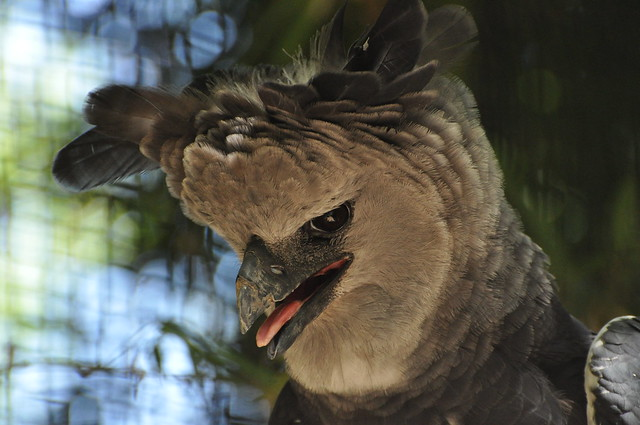 Harpy Eagle VI | Flickr - Photo Sharing!