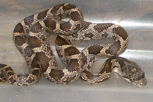 Baby Rat Snake 0008 Flickr Photo Sharing