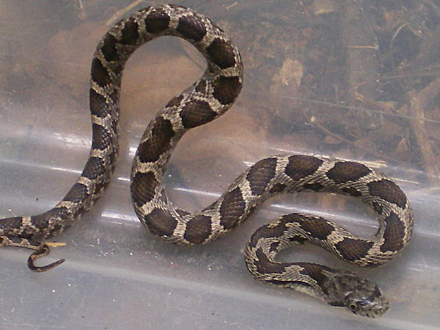 Baby Rat Snake 0002 Flickr Photo Sharing