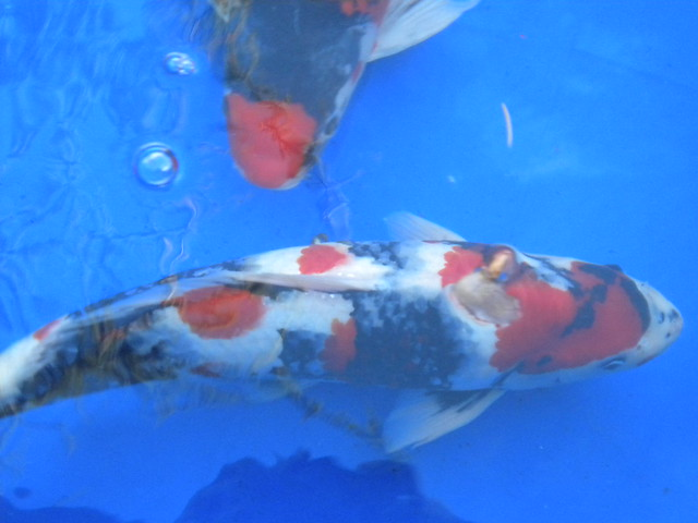 Koi fish in a blue tank flickr photo sharing for Coy fish aquarium