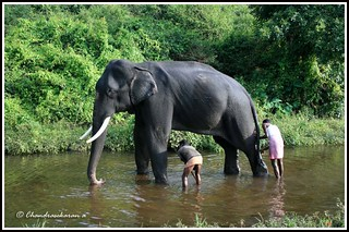 1619 In the elephant camp | by chandrasekaran a 49 lakhs views Thanks to all.