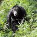 Chimpanzee Forest #2