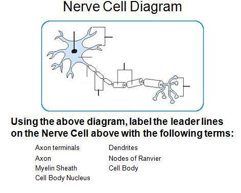 Nerve Cell Diagram Timothyakeller Flickr