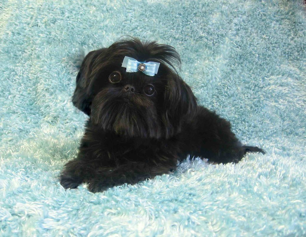 Black Shih Tzu Puppies Calypso Our Tiny Chinese Imperial S Flickr