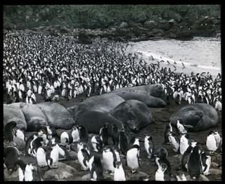 Young sea elephants asleep amongst royal penguins, South End rookery, Macquarie Island [Australasian Antarctic Expedition, 1911-1914] | by National Library of Australia Commons