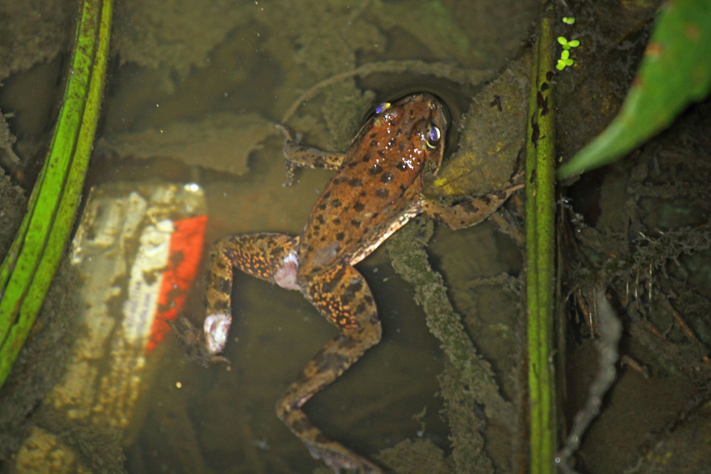Rare Frog Species From California Seems To Be Recovering ...