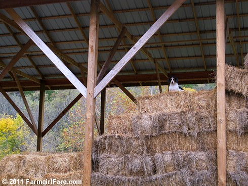 Bert on lookout duty in the haybarn | by Farmgirl Susan