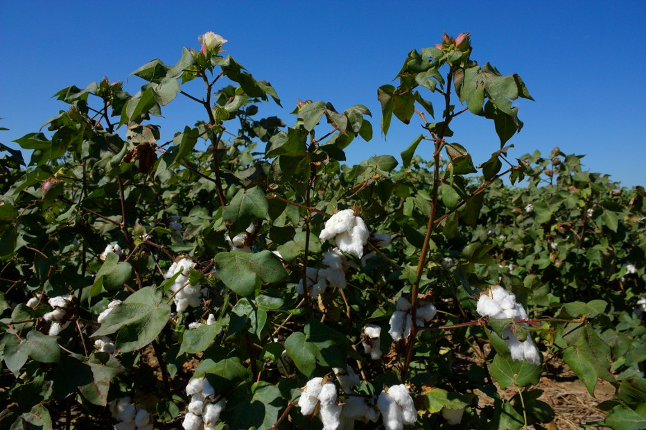 Mississippi Cotton Plantation | The USA's economic wealth ...