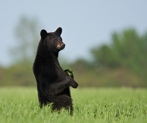 Bear standing in wheat field | by North Carolina Museum of Natural Sciences