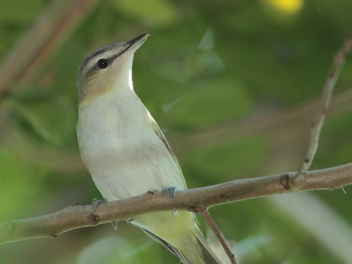 Red-eyed Vireo 3-20110914 | by Kenneth Cole Schneider