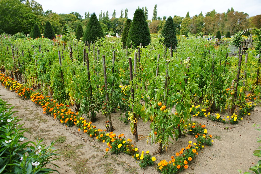 Marigolds Edging A Vegetable Garden 1 Karl Gercens