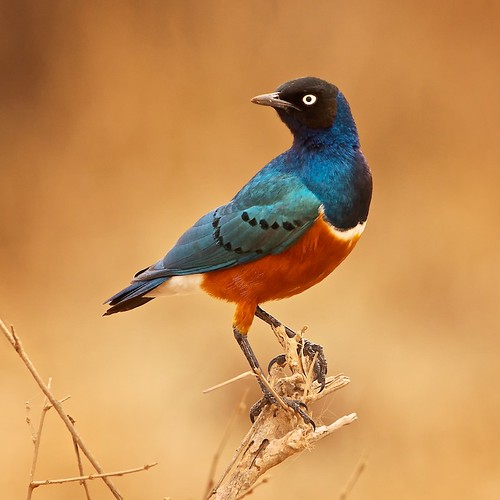 Superb Starling | by justbelightful