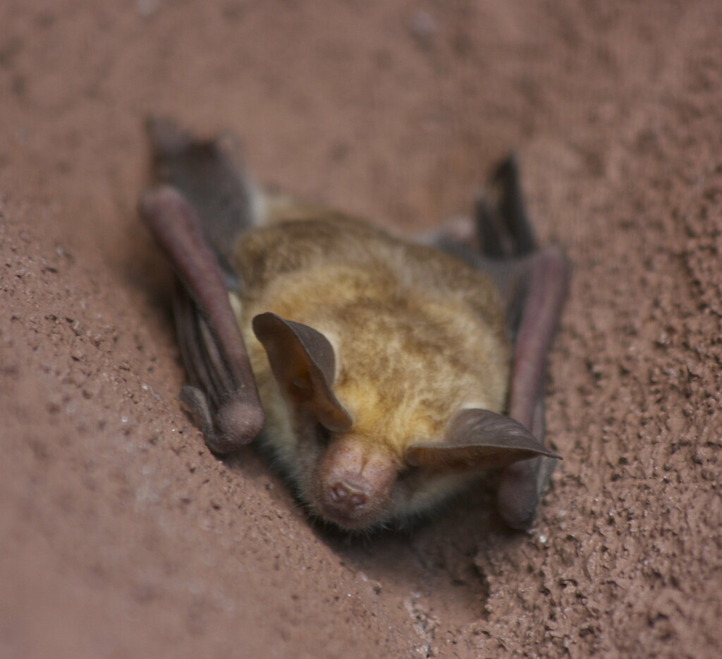 Pallid Bat I Think They Have The Cutest Faces Devra