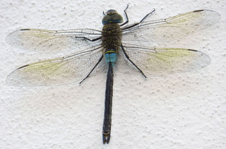 TRASPARENZE : una libellula sul muro *** TRANSPARENCY: a dragonfly on the wall | by *DIDI**005 very busy