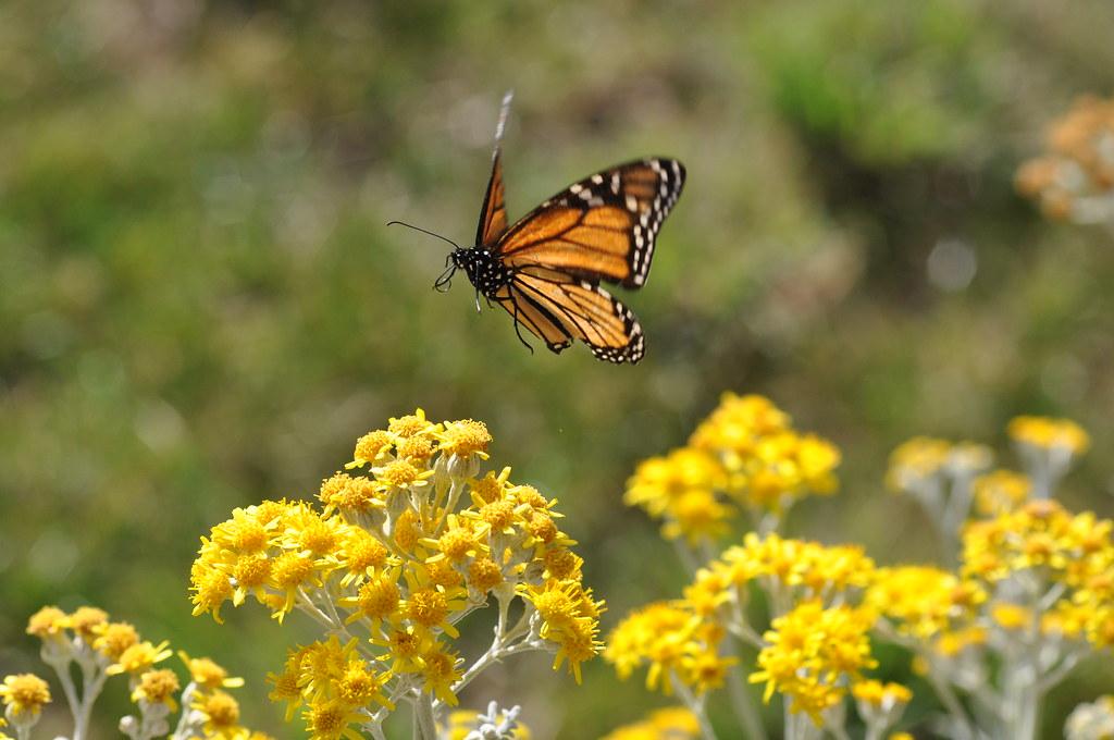 Monarch Butterfly in flight. | Heidi | Flickr