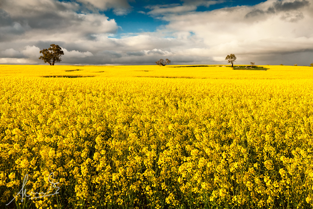 canola fields wollogorang nsw finally found that canola flickr