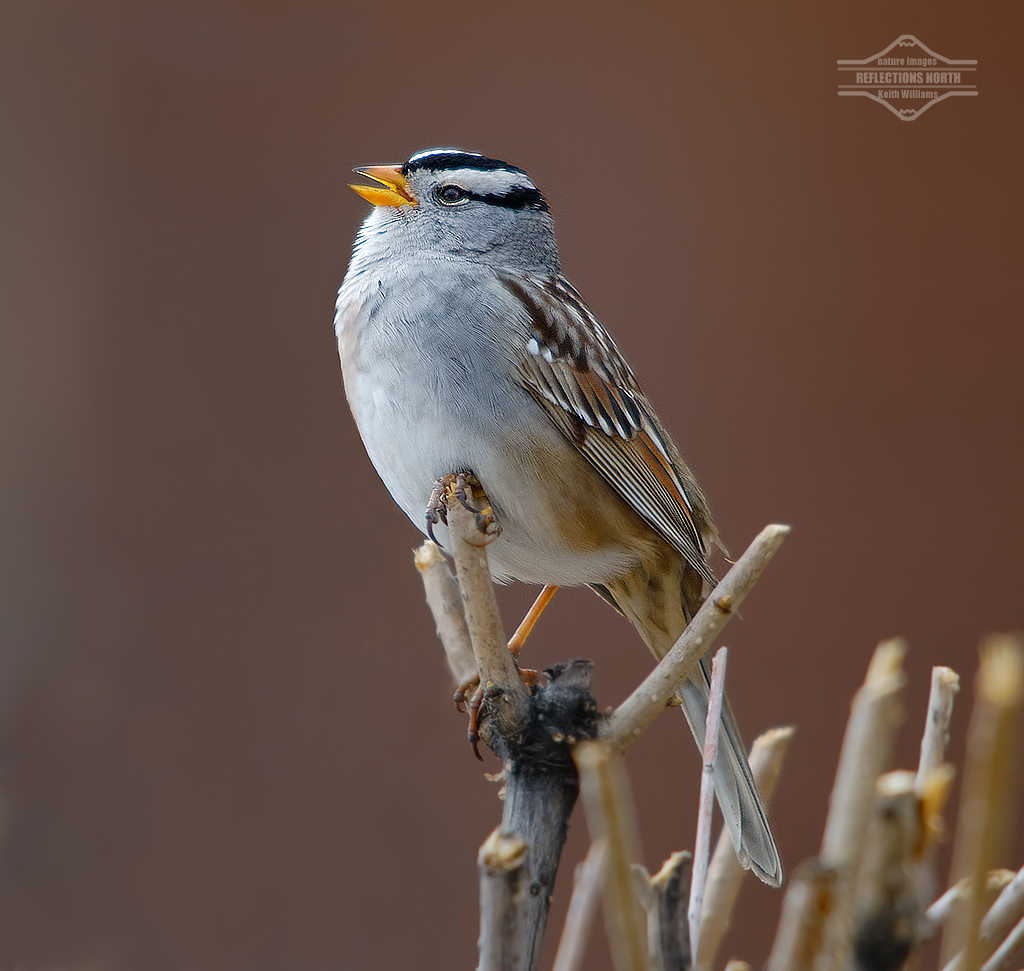 White-crowned Sparrow in Spring Song | The first thing ...