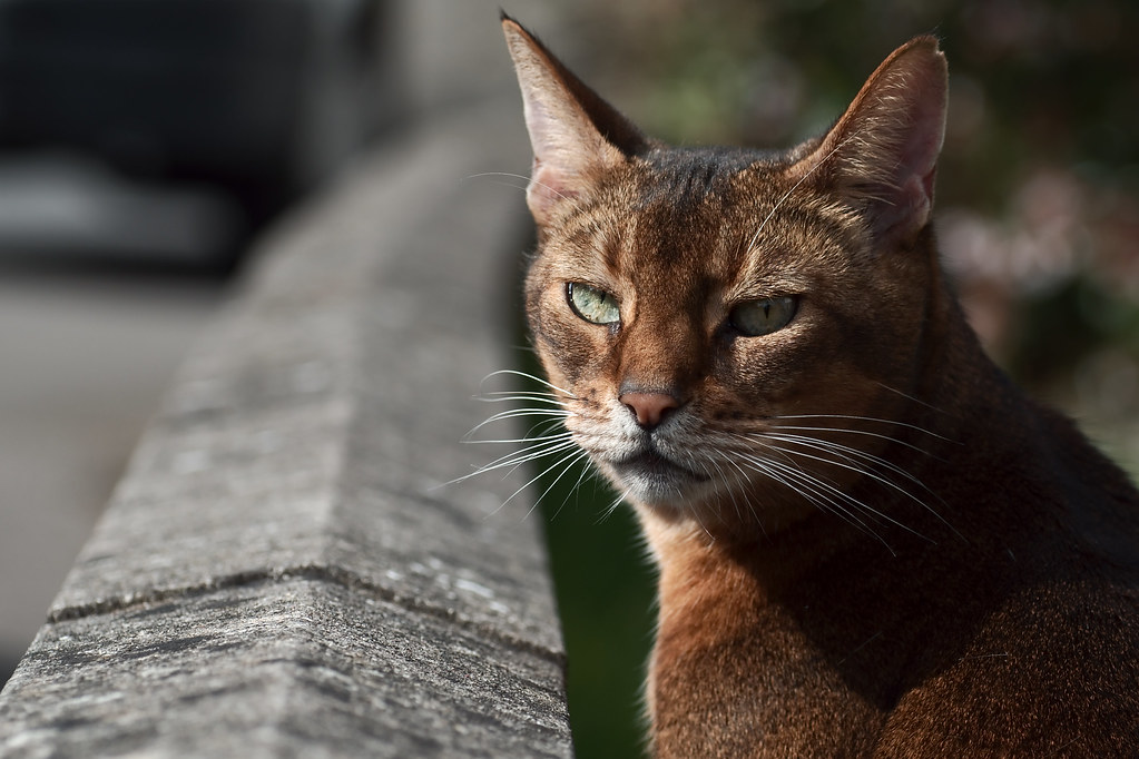 "Simba | Simba is an Abyssinian cat with ""usual"" colouring (a ... Usual Abyssinian Kittens"