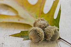270:365 Autumn acorns