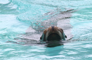 California Sea Lion at the Bronx Zoo, NYC | by ChrisGoldNY