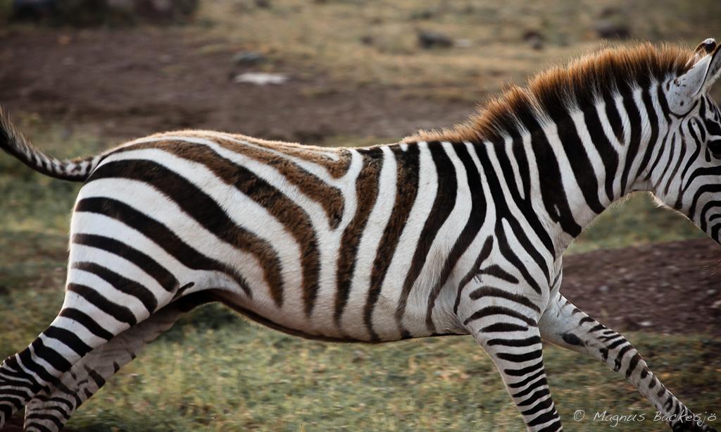 zebra running - photo #32