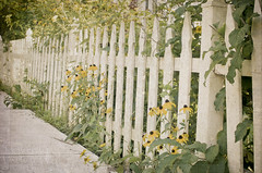 272:365 Blackeyed susans peeking through the fence