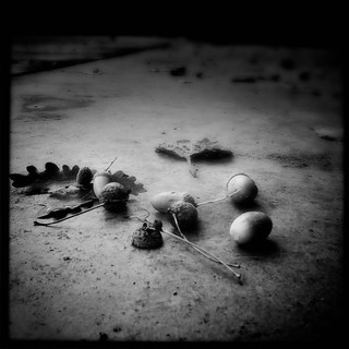Acorns are falling | by *chantal*