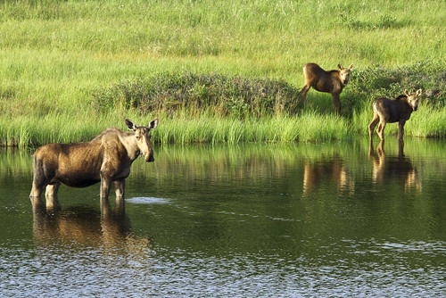 Moose Cow and Calves | by DenaliNPS