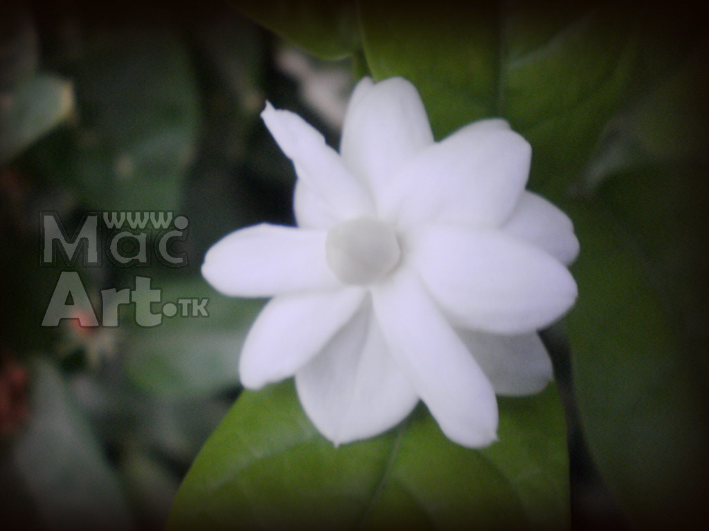 White Flowers Photography By Muhammad Arif Channa White Fl Flickr