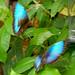 Morpho peleides, Blue Morpho