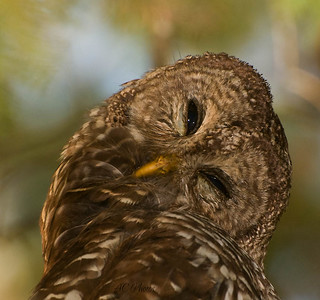 Shhhhh, I Know It's Monday... Don't Bother Me ( Barred Owl ) | by ac4photos.