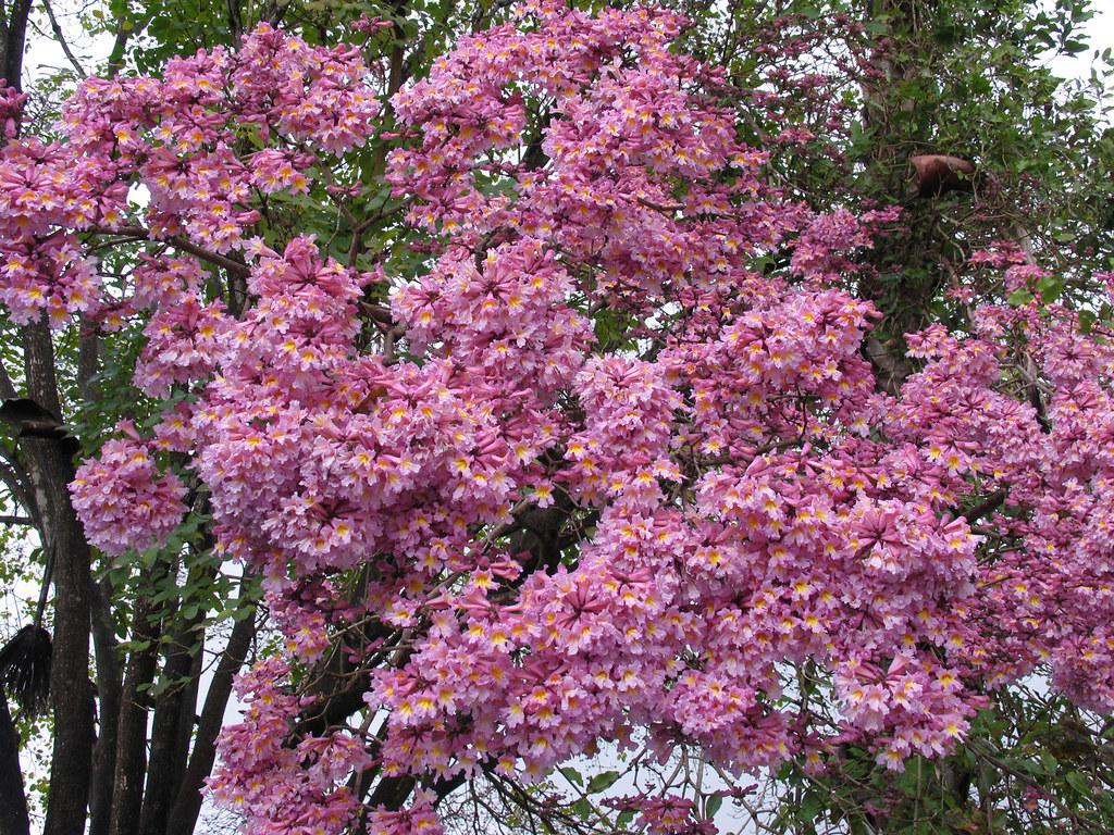 Handroanthus impetiginosus pink trumpet tree handroanthus flickr handroanthus impetiginosus pink trumpet tree by alfredsin mightylinksfo