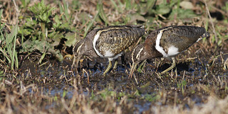Australian Painted Snipe | by 0ystercatcher