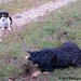 Bear on the mole patrol with bored beagle and sheep backup 3