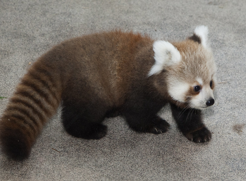 Red Panda Cubs at Smithsonian's National Zoo Named for Sto ...