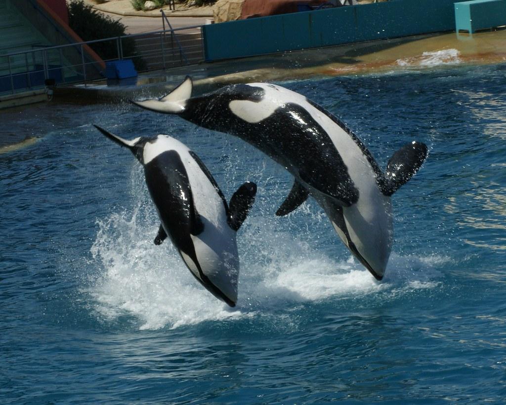 Orca Whales (Orsinus orca), Marineland, France | Spencer ...
