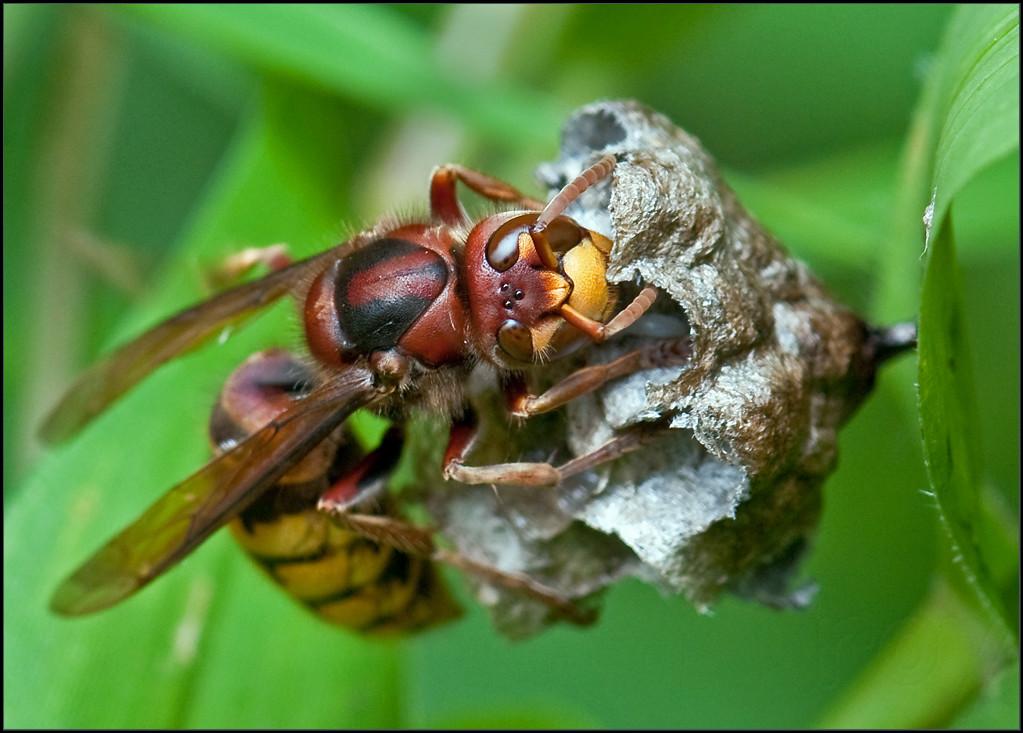 vespidae european hornet attack on wasp nest this 9