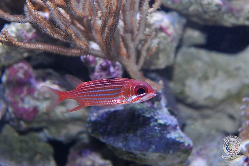 Juvenile squirrel fish | by keywest aquarium