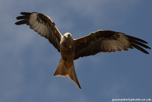 Red Kite (more below - click images to view) | by gcampbellphoto
