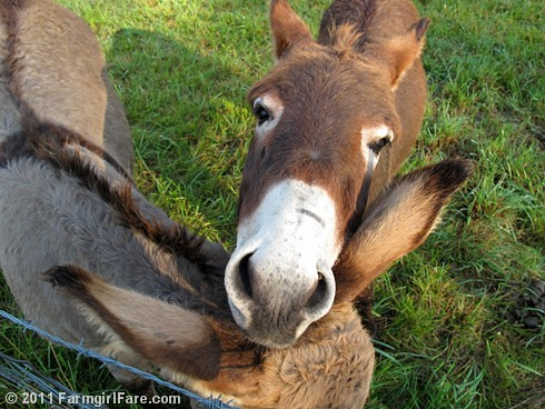 Donkey Gnat Relaxing on Gus' Ears | by Farmgirl Susan