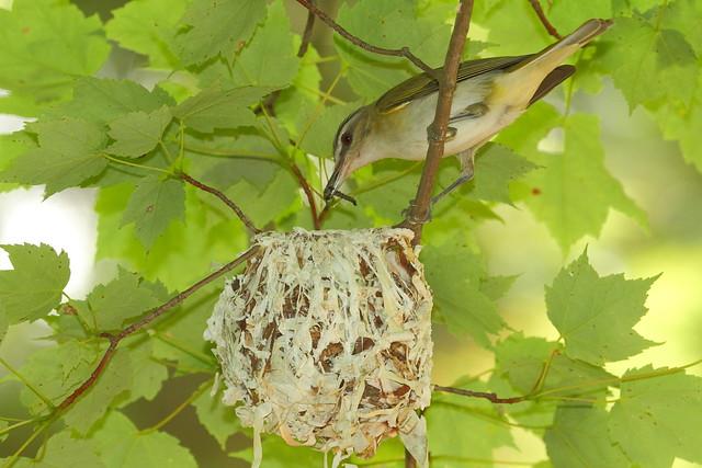 Red eyed vireo nest - photo#6