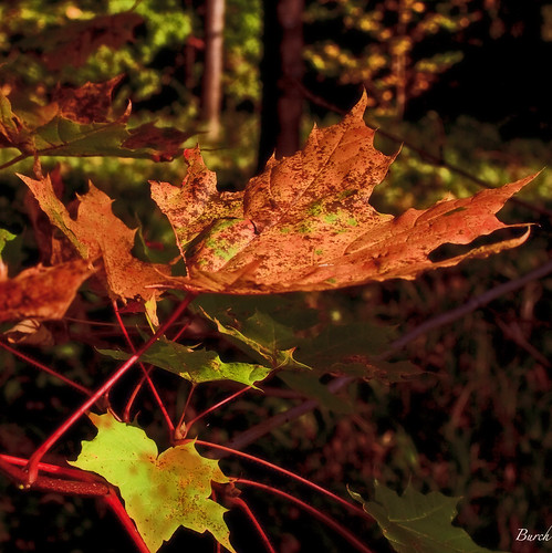 Red Leaf | by Canon50D1