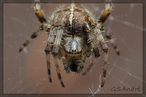 Close on spider | by GSAndré