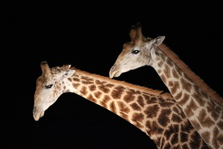 Giraffes Eastern Cape-South Africa | by neeravbhatt