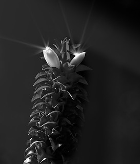 A ginger flower  bw | by aycee_2000