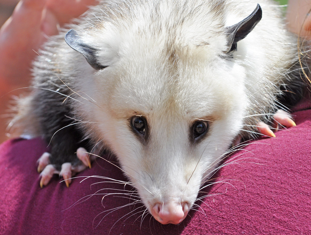 Virginia Opossum Didelphis Virginiana The Virginia