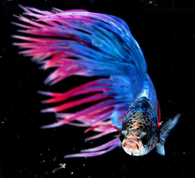 Crown tail siamese fighting fish betta splendens for Crowntail betta fish