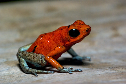 Solarte Strawberry Poison Dart Frog | by J.P. Lawrence Photography
